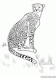 coloring page cheetah on the hunt