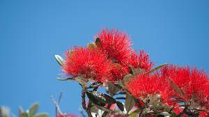 native plants of new zealand new zealand christmas tree san diego zoo animals u0026 plants