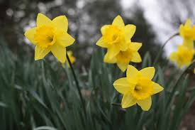 daffodil flower meaning u2013 savingourboys info