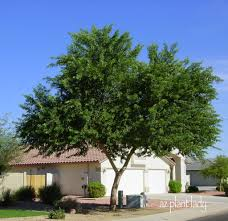 plants native to arizona ficus trees too much hassle ramblings from a desert garden