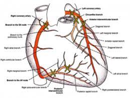 Heart External Anatomy Heart Arteries Anatomy Images Learn Human Anatomy Image
