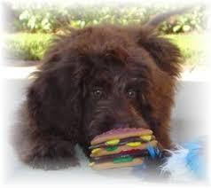 belgian sheepdog poodle mix dog breeders in ohio