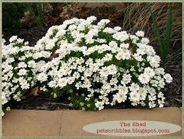 All Year Flowering Shrubs - 41 best candytuft images on pinterest flower gardening flowers