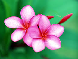 beautiful flowers hd wallpapers beautiful flowers pictures