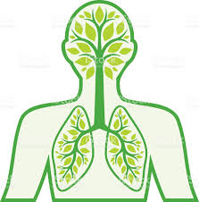 a diagram in green of the human respiratory system stock vector