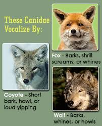 comparison between coyotes wolves and foxes