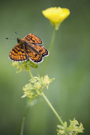 702 best butterflies images on pinterest butterflies butterfly