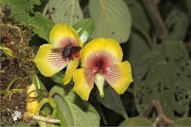 plos one telipogon peruvianus orchidaceae flowers elicit pre