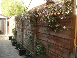 climbing roses in containers was it successful or unsuccessful