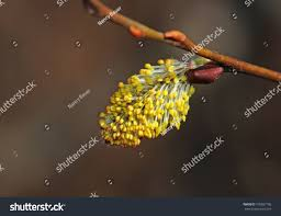 closeup flowering willow catkin stock photo 100897705