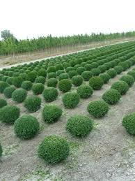 buxus sempervirens in vaso buxus sempervirens european box vivai ivano guagno