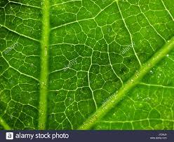 plants native to japan castor oil plant leaves stock photos u0026 castor oil plant leaves