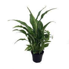 peace lily domino u0027 peace lily plant spathyphyllium new easy 6
