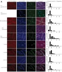 the clr4 methyltransferase determines the subnuclear localization