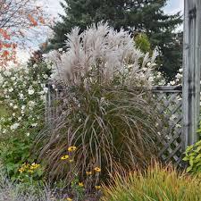 miscanthus sinensis oktoberfest pp27074 walters gardens inc