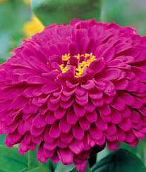 zinnia flower purple prince zinnia seeds and plants annual flower garden at