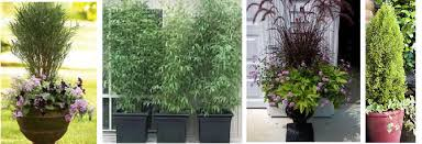 Shrubs For Patio Pots A Privacy Screen With Plants