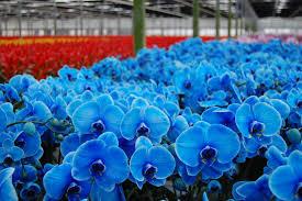 Blue Orchid Flower Blue Mystique Urbannight U0027s Blog