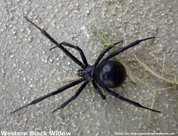 Black Widow Spiders Had A - huge black widow spider goes splat poison everywhere youtube