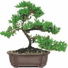 brussel s green mound juniper bonsai medium outdoor not