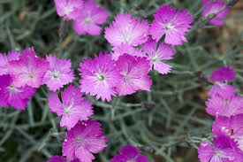 dianthus flower growing dianthus flowers in the garden how to care for dianthus