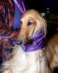 afghan hound attack the delightfully campy and bizarre world of the westminster dog