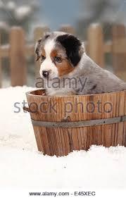 australian shepherd 6 weeks australian shepherd puppy 7 weeks in cage kennel stock photo