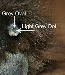 the secret grey dot inside a dog u0027s black nail mybrownnewfies com