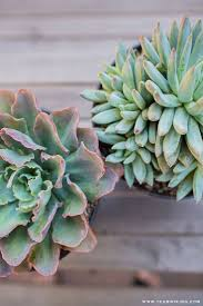 Low Light Succulents by 119 Best Sensational Succulents Images On Pinterest Plant