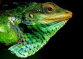 file large scaled forest lizard jpg wikimedia commons