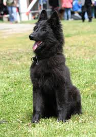 belgian sheepdog oklahoma sheepdog breed and photos and videos list of dogs breeds