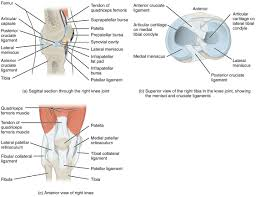 Right Knee Anatomy 9 6 Anatomy Of Selected Synovial Joints Anatomy And Physiology
