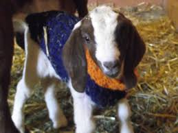 baby goats wear knitted bowl sweaters sporting their