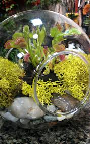 Homemade Fly Trap by 25 Best Venus Fly Trap Images On Pinterest Carnivorous Plants