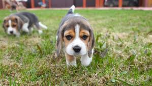 pocket beagle puppies coloring pages dog breeds puppies