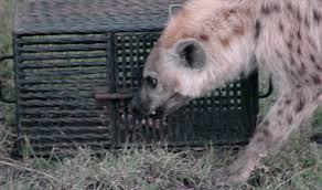 Michigan wild animals images Captive hyenas outfox wild relatives msutoday michigan state jpg