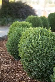 best 25 dwarf boxwood ideas only on pinterest boxwood bush