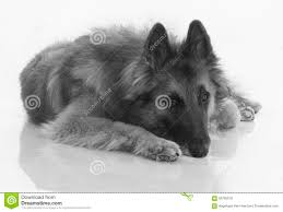 belgian sheepdog tervuren dog belgian shepherd tervuren black and white isolated on shi