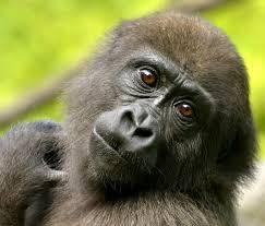 it u0027s good to be a three year old gorilla cincinnati zoo blog