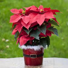 christmas plants christmas plant inspired room