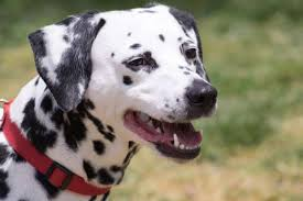 Are All Dogs Colour Blind 11 Spotted Facts About Dalmatians Mental Floss