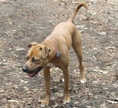 bluetick vs english coonhound catahoula bulldog wikipedia