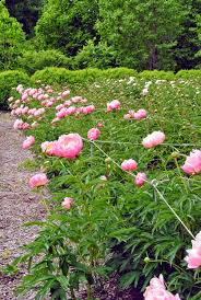 plants native to europe my herbaceous peony garden the martha stewart blog