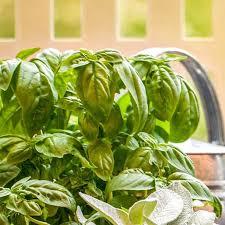basilico in vaso malattie seminare il basilico aromatiche consigli per seminare il basilico