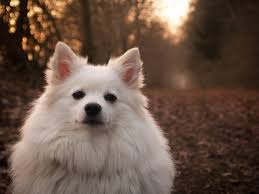 american eskimo dog or japanese spitz free images white puppy animal cute pet portrait small