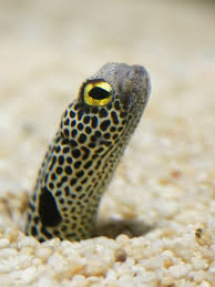 eel facts learn about eels in the florida keys