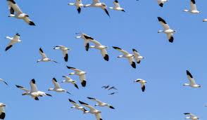 Montana birds images Freezeout lake jpg