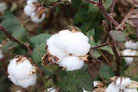 mid south cotton crop looks good as picking begins ag watch network