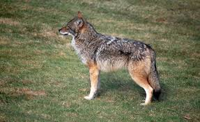 coyotes or coywolves debate grows their true identity
