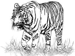 realistic animal coloring pages free coloring pages of tiger drawing 6533 bestofcoloring com
